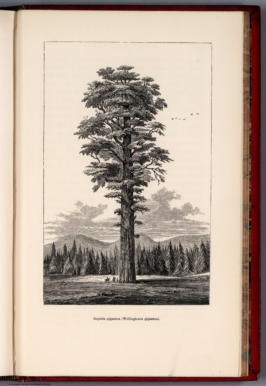 RedwoodRebirth